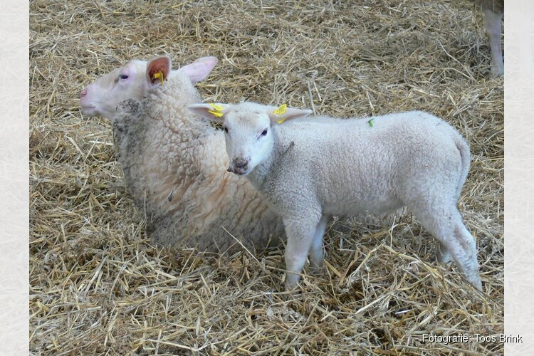 Lammetjes op de boerderij