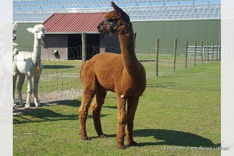 """Alpaca dekhengst uit Zuid-Frankrijk vindt nieuw thuis: """"Vrouwtjes staan allemaal bij het hek"""""""